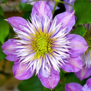 Clematis 'Crystal Fountain' Hardy Deciduous Flowering Climber Plant (20-30cm (Incl. Pot))