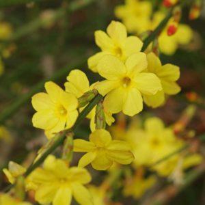 Jasminum Nudiflorum Winter Jasmine Deciduous Flowering Garden Climber | 9cm Pot