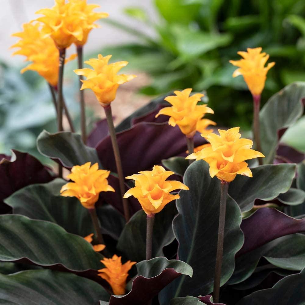 Calathea Crocata Plant - Live Eternal Flame Shrub Indoor Houseplant in 14 cm Pot