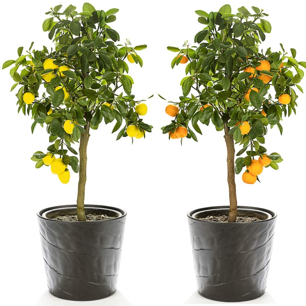 Citrus Fruit Tree Duo House Plants Grow Your Own Orange and Lemon Plants with Edible Fruit, Patio Plant for Home