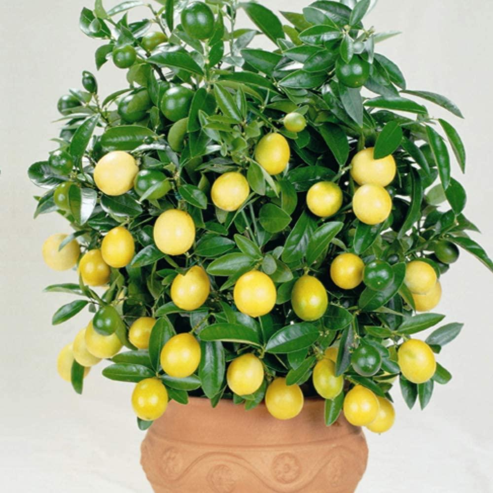 Lemon Plant Citrus Houseplant Grow Your Fruit, Patio Plants for Home, Office & Conservatory 9cm Pot x 1 by Thompson & Morgan