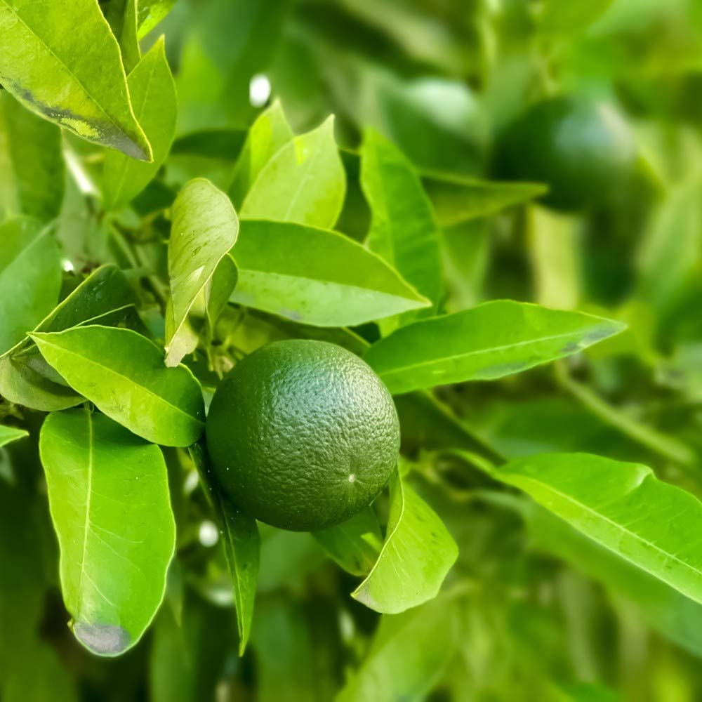 Lime Tree Citrus Fruit Houseplant Grow Your Own, Patio Plant for Home, Office & Conservatory 9cm Pot x 1 by Thompson & Morgan