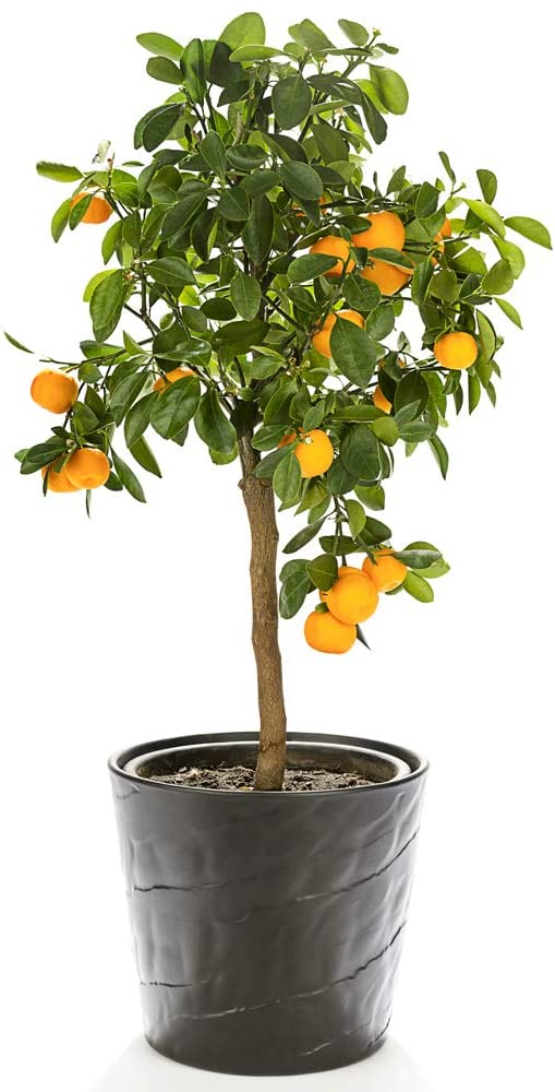 Orange Tree Citrus Fruit Houseplant Grow Your Own, Patio Plant for Home, Office & Conservatory 9cm Pot x 1 by Thompson & Morgan