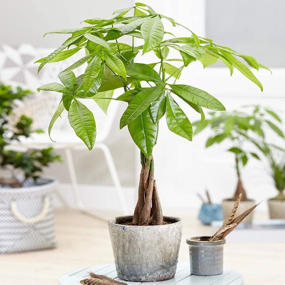 Pachira Aquatica Tree - Live Premium Potted Indoor Plant Braided Stem 12 cm Pot