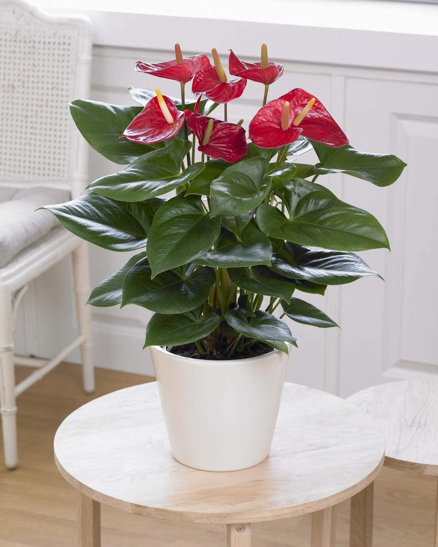 Red Anthurium Laceleaf Colourful Indoor Flower House Plant   13 cm Pot