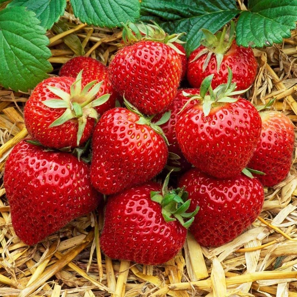 Strawberry 'Honeoye' Bare Root Hardy Mid Season Garden Bush Fruit Plants