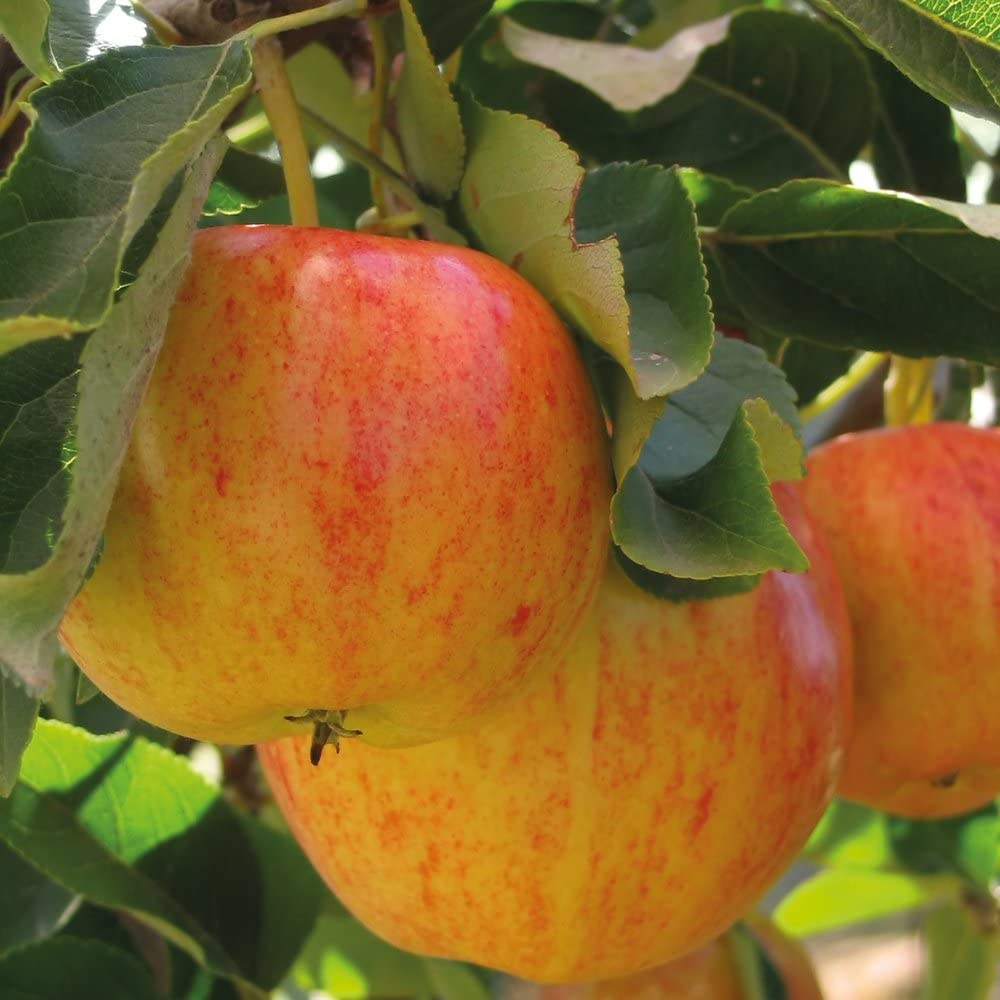 Thompson & Morgan Potted Mini Fruit Tree Apple, Ideal for Small Gardens & Patios, Heavy Cropping, Delicious Edible Fruit, Low Maintenance, 1 x Malus (Apple) Gala Plant in a 9cm pot