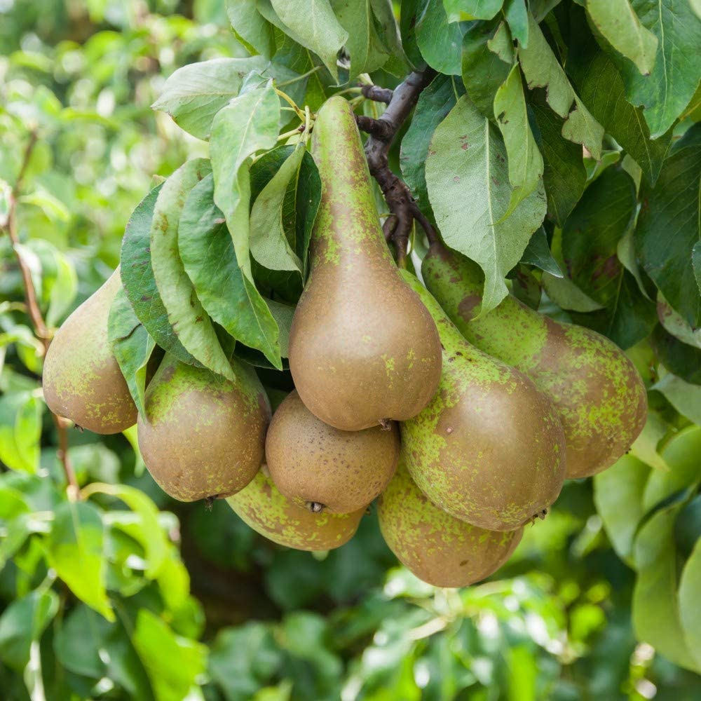 Thompson & Morgan Potted Mini Fruit Tree Pear, Ideal for Small Gardens & Patios, Self-Fertile Heavy Cropping, Delicious Fruit in Autumn, Easy to Grow