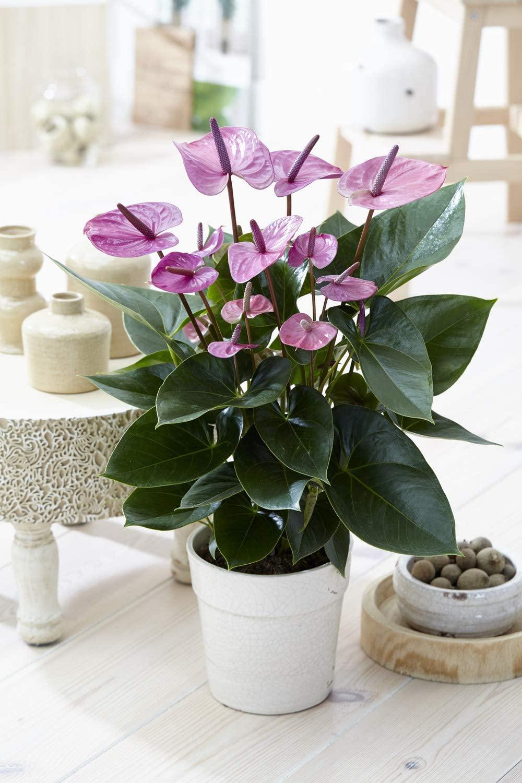 Tropical Purple Flamingo Flower Anthurium Live Plant for Home - 13 cm Ceramic Pot